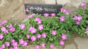 アークヒルズ 北栄マルシェ マドンナの宝石 ペチュニア 花