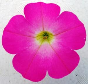 マドンナの花