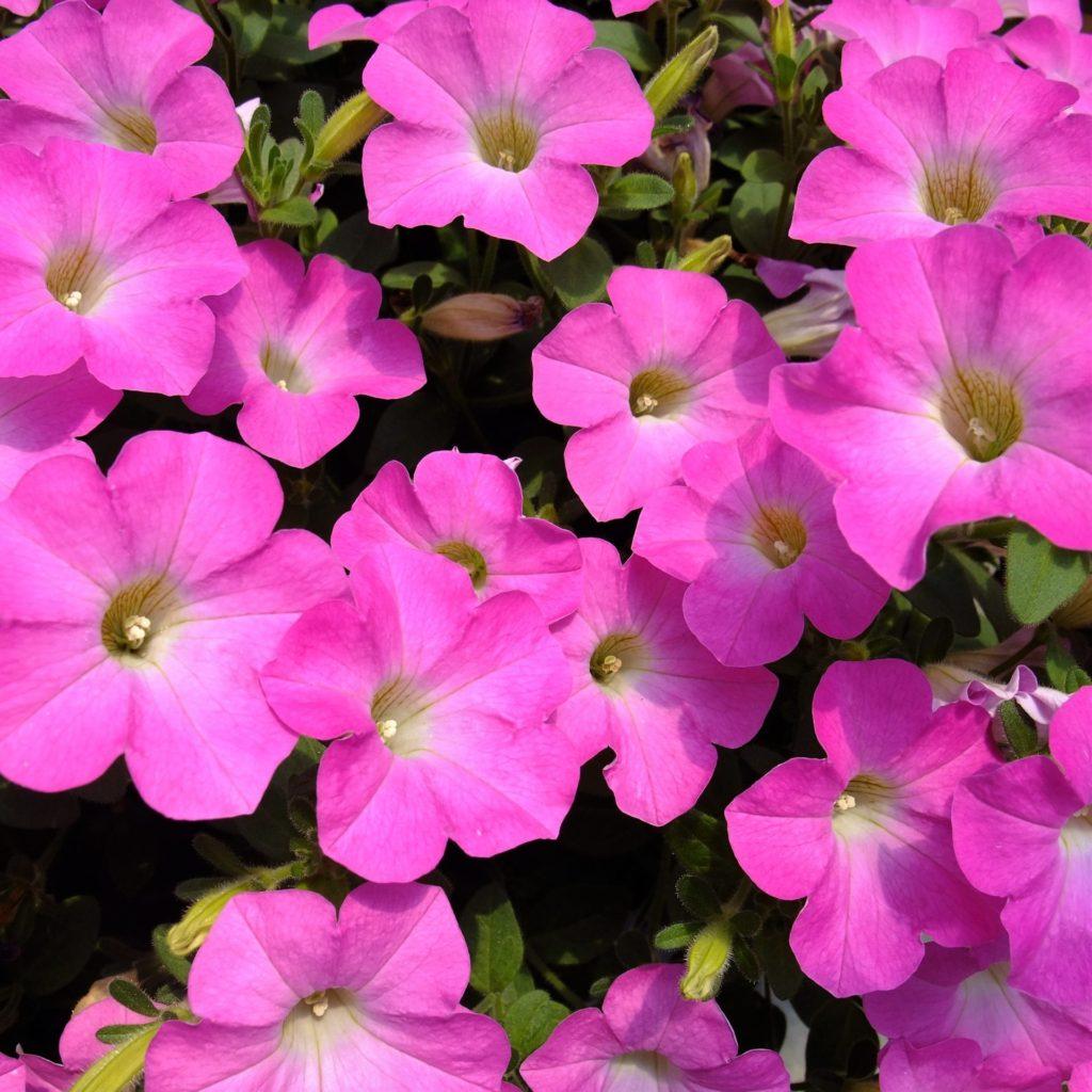 ペチュニア:マドンナの宝石ピンク花弁。