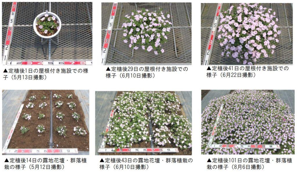 ペチュニアのソフィアの宝石ホワイトピンクのジャパンフラワーセレクションの審査公表の栽培経過写真。