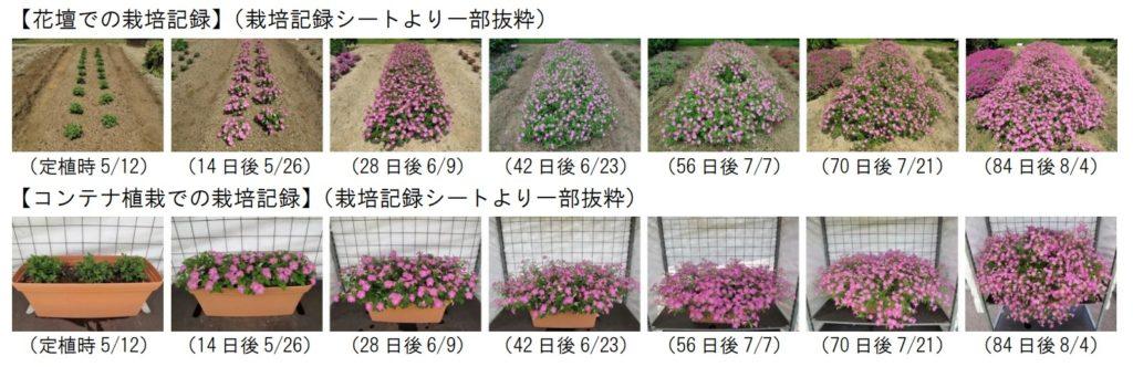 マドンナの宝石ピンクのジャパンフラワーセレクション調査記録画像。