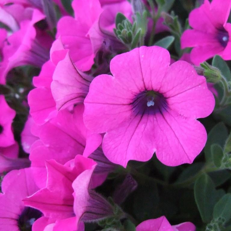 ペチュニア:ソフィアの宝石バイオレットの花。