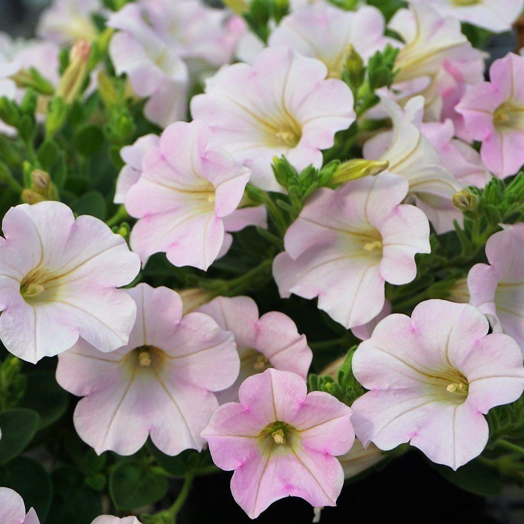 ペチュニア:ソフィアの宝石ホワイトピンクの花。