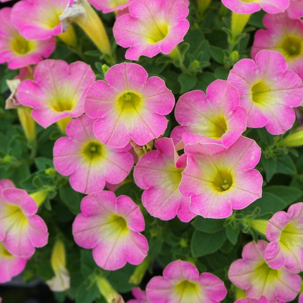 ペチュニア:マドンナの宝石ピンクイエロー花弁。