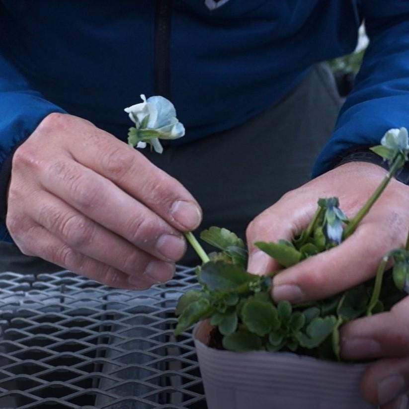 パンジーの花がら摘みの様子。