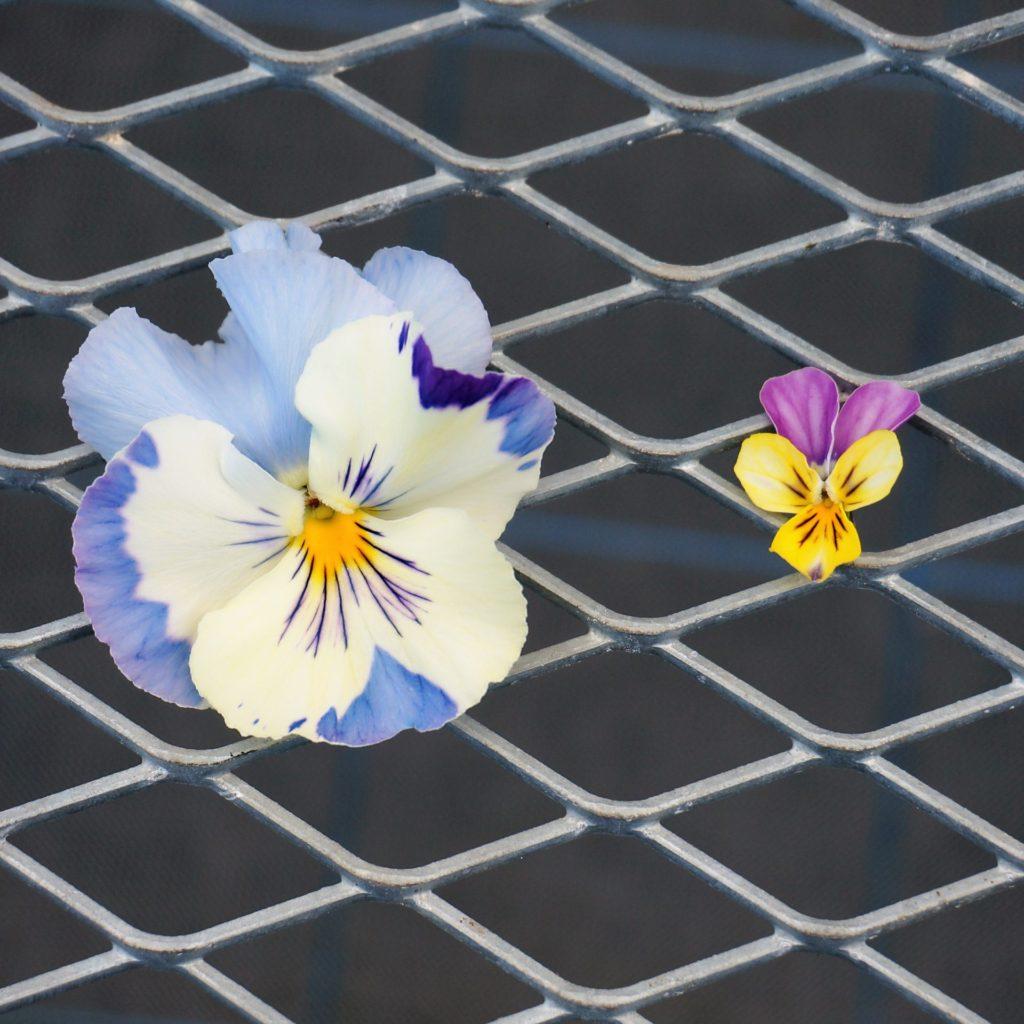 パンジーとビオラの花びら